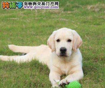 顶级聪明纯种高智商 拉布拉多幼犬出售