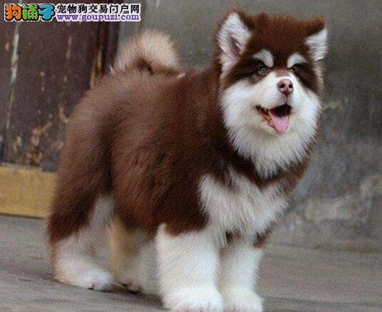 优秀品质阿拉斯加雪橇犬特价转让 深圳同城购买可送狗