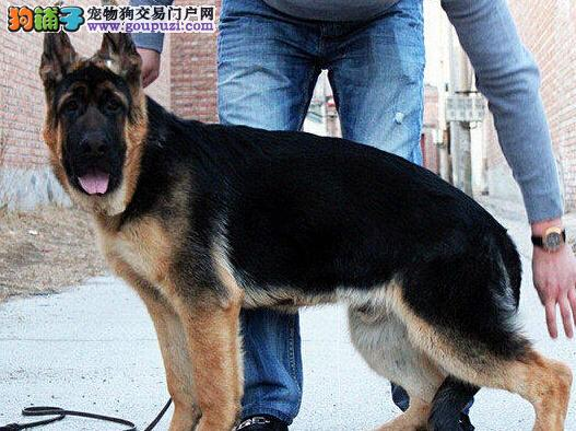 出售疫苗驱虫齐全的锤系杭州德国牧羊犬 完美售后服务图片
