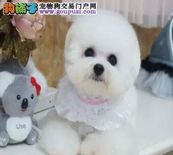 广州知名犬舍专业繁殖售法系比熊幼犬 质保签售后协议图片