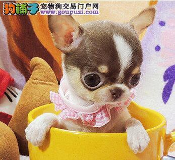 武汉实体犬场自家繁殖吉娃娃犬终身售后有保障