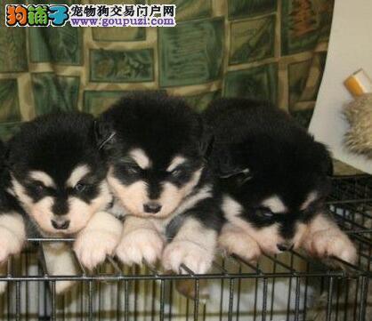 顶级优秀纯种阿拉斯加雪橇犬直销中 武汉周边可送狗