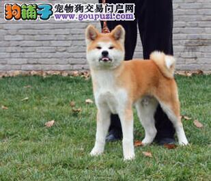 出售精品纯种日系长沙秋田犬 有问题可退换已做好疫苗