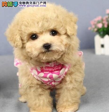 贵阳超小体茶杯泰迪犬 多色可选 口袋泰迪熊 可送货图片