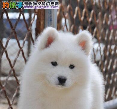 贵阳实体狗场出售雪白色萨摩耶幼犬 签订合法协议书图片