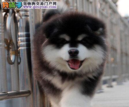狗场直销杭州出售纯种阿拉斯加犬幼犬包养活签协议