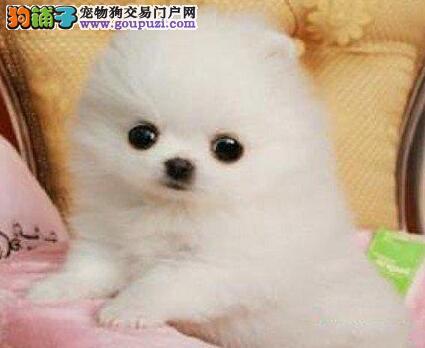 纯种广州博美幼犬低价出售 品相很好 颜色多可挑选图片
