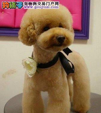 韩系精品泰迪熊宝宝 超卡哇伊泰迪熊 签署保证协议