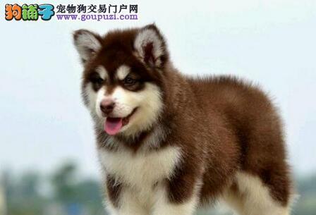 杭州自家狗场热销阿拉斯加雪橇犬 可送货可签协议
