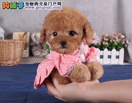 权威机构认证犬舍 专业培育贵宾犬幼犬价格低廉品质高