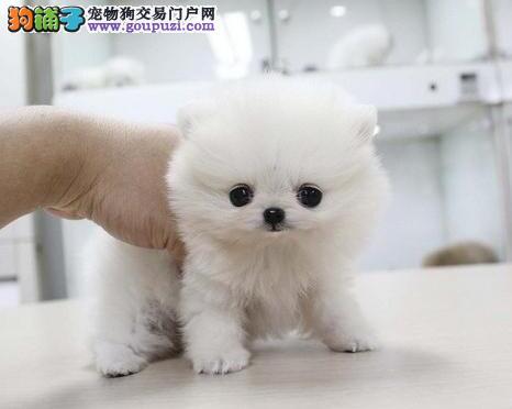 南京正规狗场直销哈多利血系的博美犬 请您放心选购图片