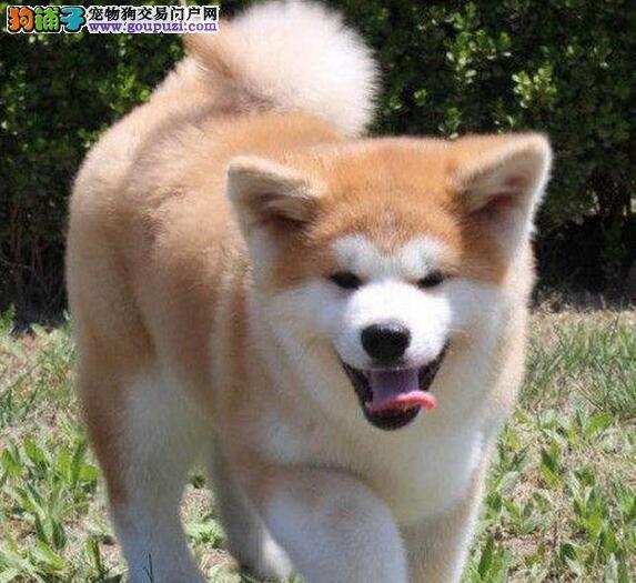 昆明家有一窝纯种健康的秋田犬低价出售 多只可选择