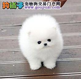 青岛顶级优秀犬舍预售纯种博美犬 哈多利版保证漂亮