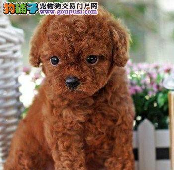 铜川犬舍繁殖泰迪犬健康有保障送礼品签协议售后三包