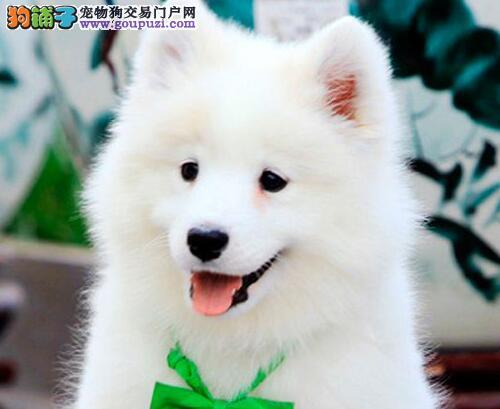 白魔法血系纯种太原萨摩耶幼犬待售中 高品质冠军血统