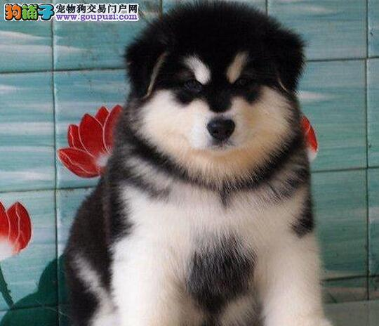 上海犬业纯种阿拉斯加纯正血统品质保证
