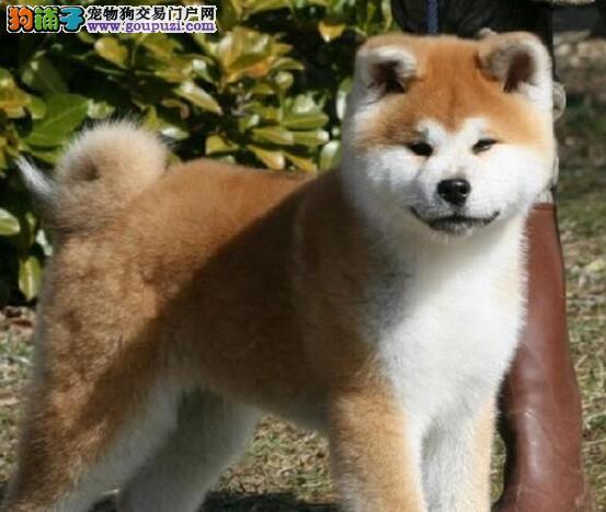 南宁犬舍直销出售毛色纯正的秋田犬 毛色毛量极好图片