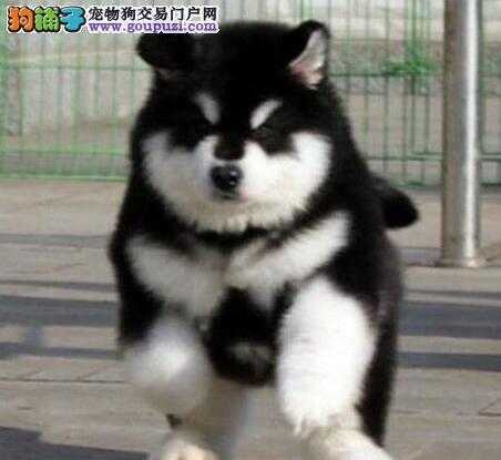石家庄犬舍出售桃脸高大体型的阿拉斯加犬 欲购从速