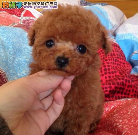 多种血统的广州泰迪犬找新家 保纯种和健康 实物拍摄图片