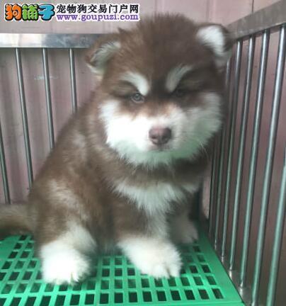 重庆市阿拉斯加幼犬出售