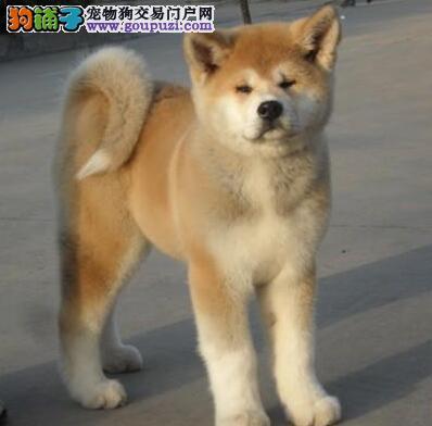 南宁知名犬业出售日系秋田犬 请大家上门选购爱犬