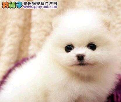 贵阳专业的博美犬犬舍终身保健康签协议上门选