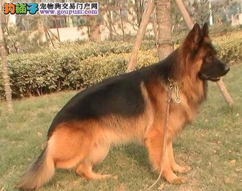 出售纯种西安锤系德牧幼犬 品质优良专业喂养精心繁殖