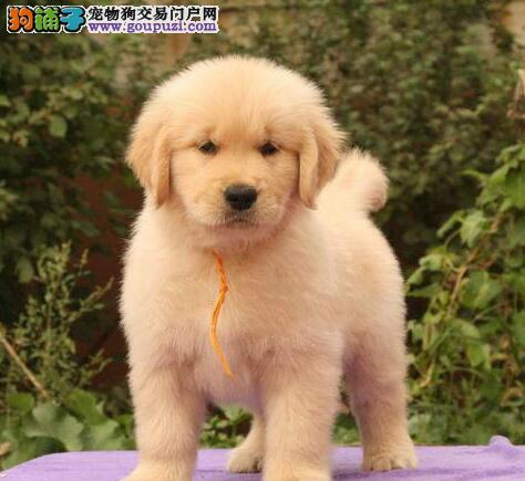 大毛量超高品质的昆明金毛犬找新主人 多只幼犬供选购