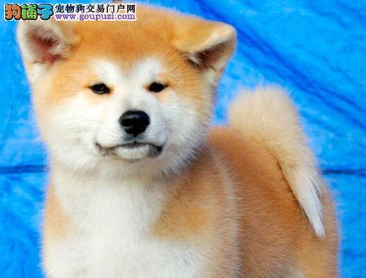 西安家养一窝纯种聪明日本秋田犬转让 血统纯包养活图片