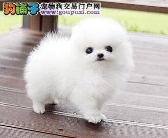 重庆博美犬多少钱 重庆到哪能买 白色博美幼犬图片