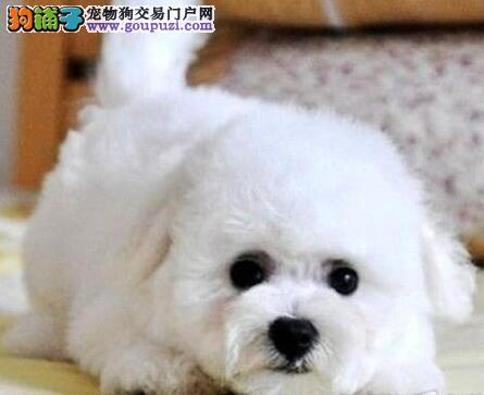 热销极品可爱卷毛济南比熊犬 保品质保证健康售后好图片