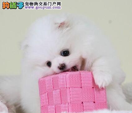 济南售纯种博美幼犬哈多利系博美狐狸犬.签协议保健康