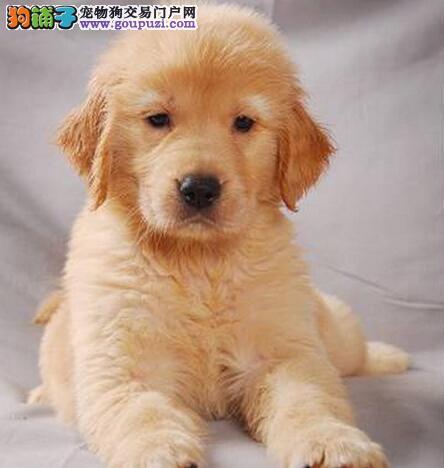 转让超高品质的广州金毛幼犬 公母均有 多只可选购