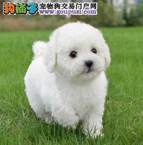 成都犬舍今日特价出售比熊犬送用品包养活签协议