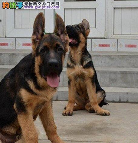 海口大型狗场出售德国牧羊犬均已注射进口疫苗
