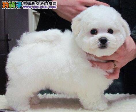 直销高品质纯种卷毛比熊犬 欢迎来杭州狗场直接购买图片
