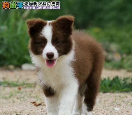 杭州出售纯种边牧幼犬七白三通双血统边境牧羊犬包健康