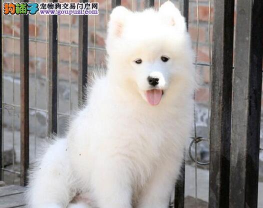 三个月的西宁萨摩耶幼犬找新主人 希望大家上门看狗