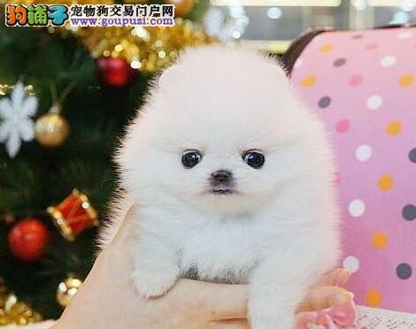 武汉繁殖基地出售哈多利球形博美犬 售后服务好签协议图片