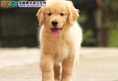 重庆金毛2个半月大出售
