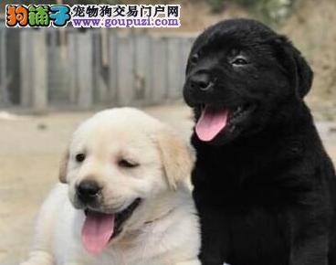 长治长期出售高品质拉布拉多犬幼犬十年老店品质好