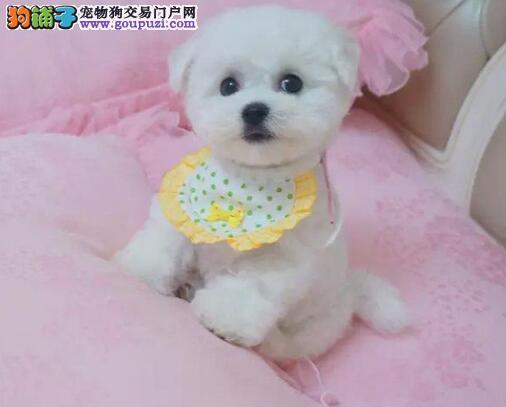 西安犬舍繁殖出售比熊犬幼犬 实物拍摄各色均有