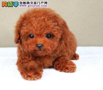 邢台犬舍繁殖纯种泰迪犬品质保证签协议可视频挑选可换图片