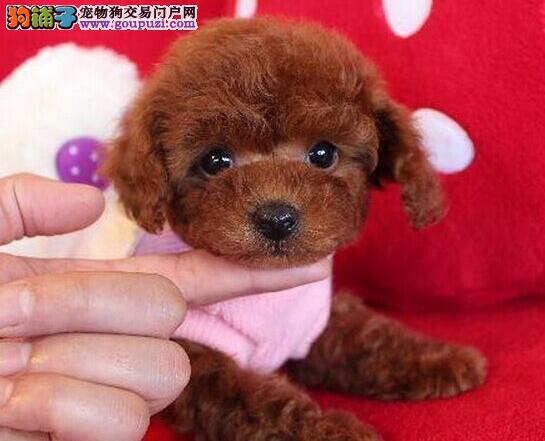 重庆出售纯种泰迪犬可议价签署协议看狗父母送上门