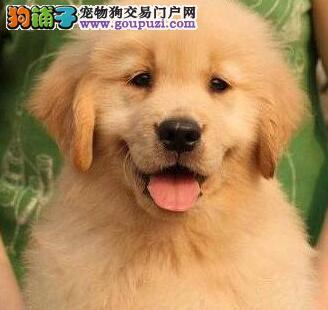 专业繁殖多只金毛犬转让广州周边地区可送货