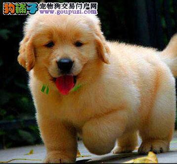 杭州狗场直销纯种大骨金毛幼犬 签协议包健康黄金猎犬
