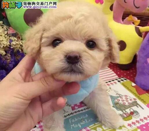 贵宾犬荆州CKU认证犬舍自繁自销欢迎上门选购价格公道