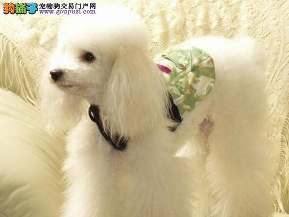 正规诚信犬舍出售北京贵宾犬签协议 法律保障
