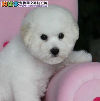昆明正规犬舍繁殖出售卷毛比熊犬 请大家放心选购爱犬