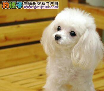 优秀健康长沙贵宾犬低价转让 可签署售后质保协议